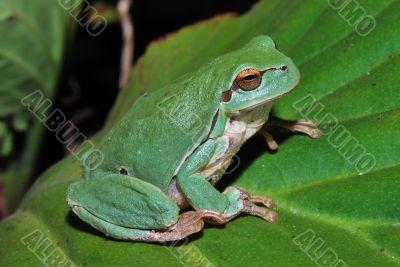green frog sitting on a green leaf