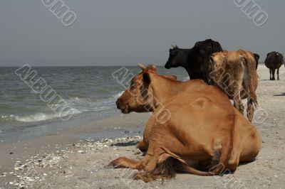Cow's meditation