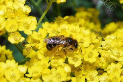 bee on yellow