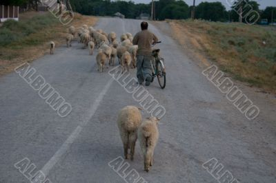Sheep on country road. Crimean village.