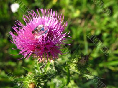 Purple thistle and the ant