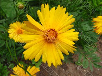 Yellow georgina flower after rain