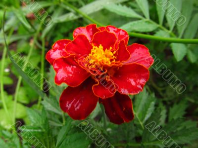 Marigold after rain