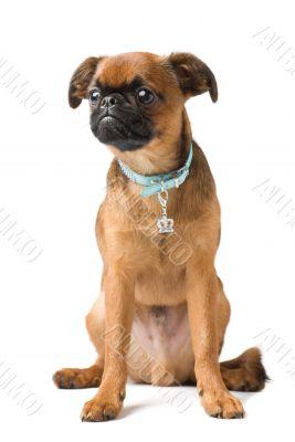 Brabant Griffon puppy