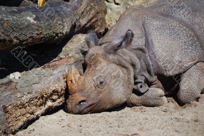 rhino sleeps