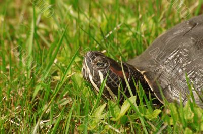 Trachemys scripta or Red-eared turtle