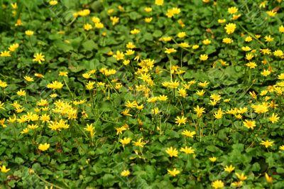 Bright yellow wildflowers