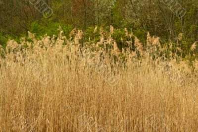 Tall reed plants