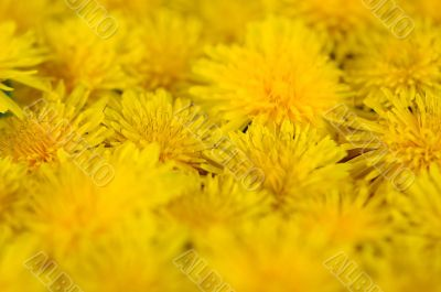 abstract background of flowering yellow dandelions