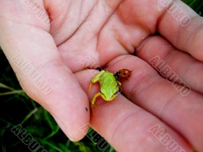 small green frog  and  red  beetle  on the palm