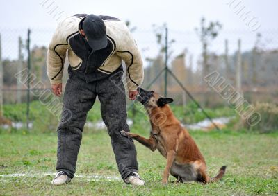 malinois and man in attack