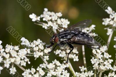 Fat Fly