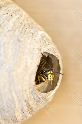 A bee looking out by the doorway of its hive