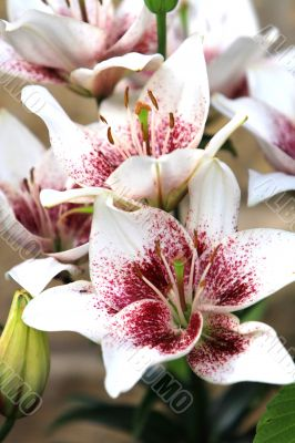 lily in bloom