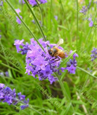 honey bee collecting pollen from lavender