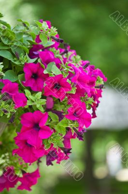 beautiful petunia flowers