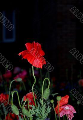 Night Poppy Flower