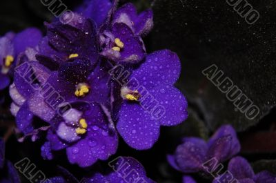 Violet flowers with water drops