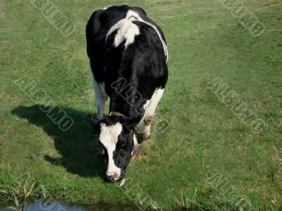 Cow eating grass in a meadow