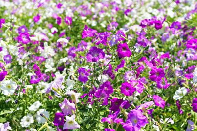petunia flower beds of white and purple