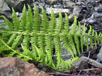 Ferm growing betweet the rocks
