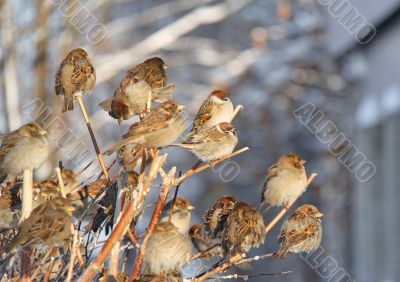 A flock of sparrows in the branches of shrubs