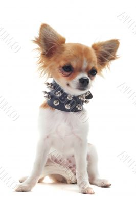 chihuahua with studded collar
