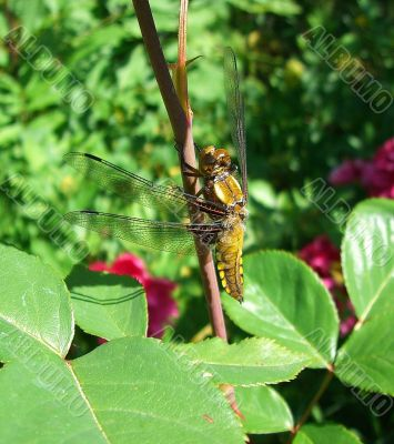 Dragon-Fly I