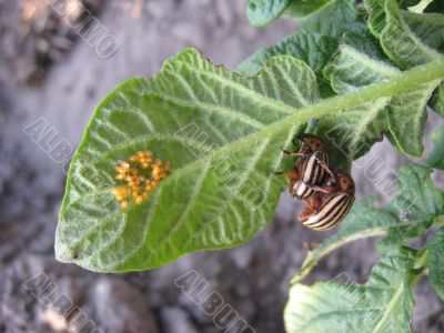 the colorado beetle