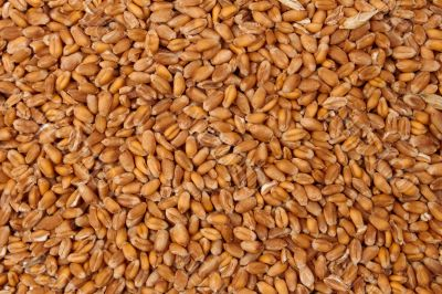 Pattern of grain feed of a wheat