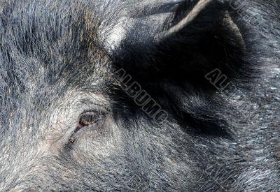 Wild Boar Neb