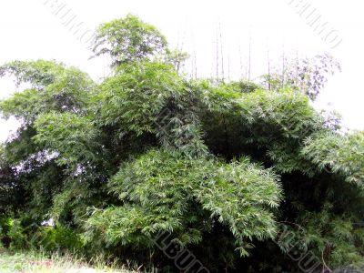 Bamboo - Bambusa bambos