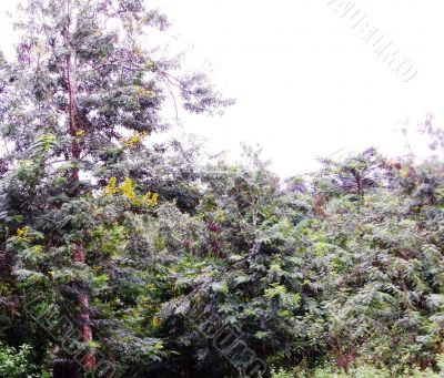 Cassia forest