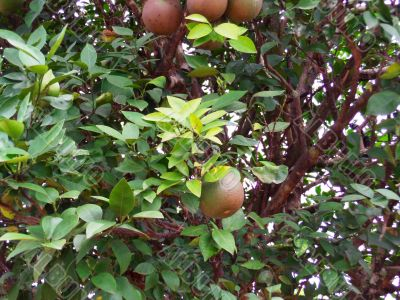 Citrus tree and fruit
