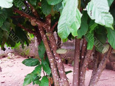 cocoa tree and pods