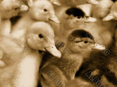 Small domestic duckling. Sepia