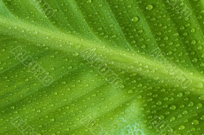 Leaf of cannaceae indica with water drops