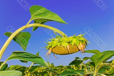 Sunflower head during ripening