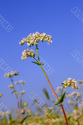 Buckwheat inflorescence