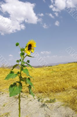 one sunflower against the straw of the farm