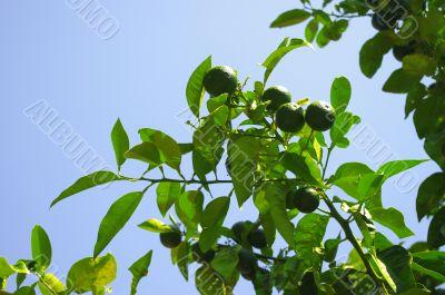 Fresh green citrus fruit on a tree