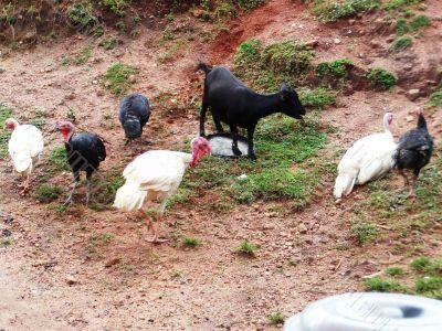 turkeys and goat