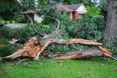 Large Oak Tree broken to Pieces