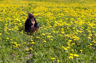 Dachshund on flowering meadow