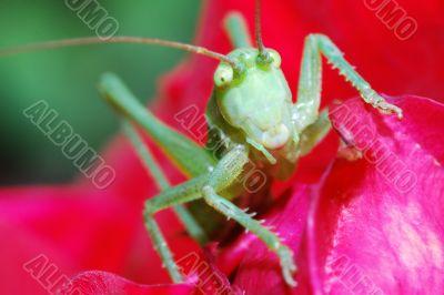 green grasshopper large