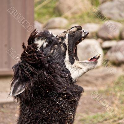 The screaming Llama