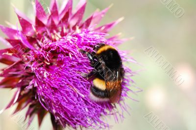 umblebee thistle flower
