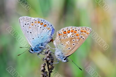 two butterfly sit on a flower