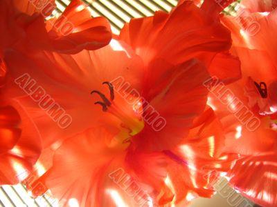 the beautiful Gladiolus