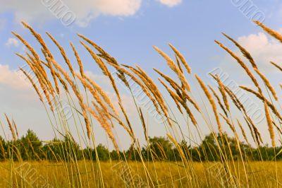 Tops of cereal weeds